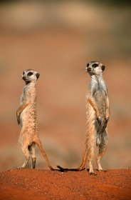 Pair of Suricates (Meerkat) (Suricata suricatta) on Dry Plain